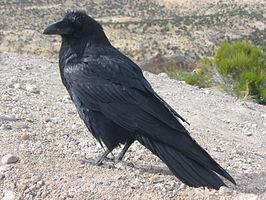 Corvus_corax_along_road